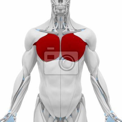 Pectoralis major - muscles anatomy map leinwandbilder • bilder ...