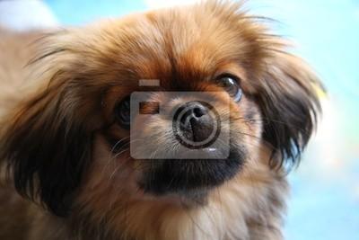 Bild Pekinese Hund
