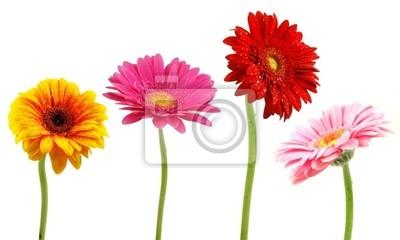Bild Perfekt Frühlingsgänseblümchen Sammlung isoliert auf weiß
