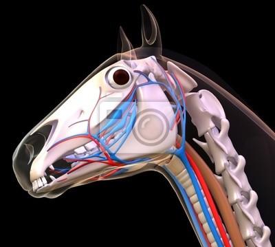 Pferd-kopf-anatomie leinwandbilder • bilder Fortpflanzungs ...