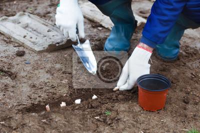 Pflanzung Knoblauch in den Boden