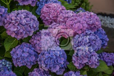 Phlox Als Violett Blühende Gartenblume Leinwandbilder Bilder