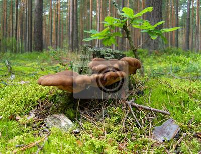 Pilze in der Nähe des alten Baumstumpf in einem Pinienwald.