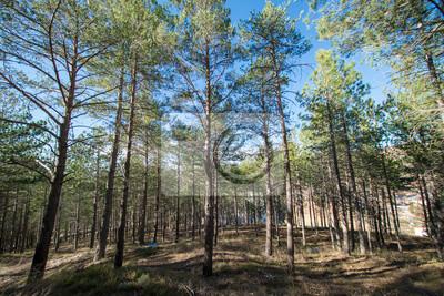 Bild Pine forests around the town of Morella