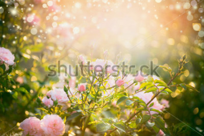 Bild Pink pale roses bush over summer garden or park nature background. Roses garden, outdoor with sunshine and bokeh