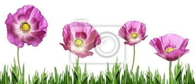 Bild pink poppy
