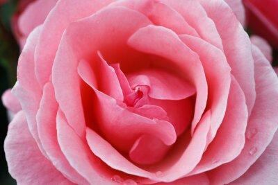 Bild Pinke Rose