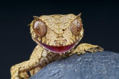 Bild Plattschwanzgecko / Uroplatus phantasticus