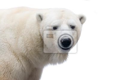 Bild Polar bear isolated on white