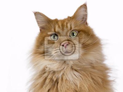 Portrait der roten festen grünen gemusterten Maine Coon Katze
