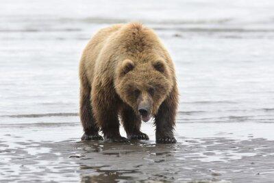 Bild Portrait des wilden kostenlose Roaming-Braunbären