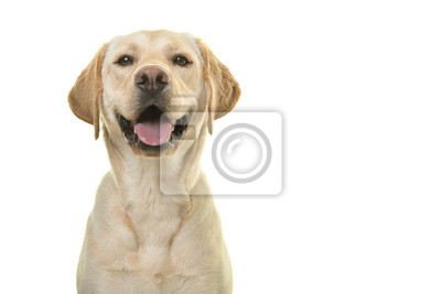 Bild Portrait of a blond labrador retriever dog looking at the camera with a big smile isolated on a white background