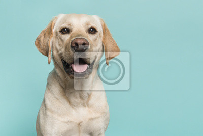 Bild Portrait of a blond labrador retriever dog looking at the camera with mouth open seen from the front on a blue turquoise background