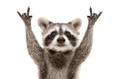 Bild Portrait of a funny raccoon showing a rock gesture isolated on white background.JPG