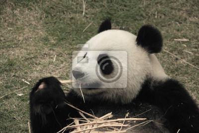 Portrait Of Giant Panda Bar Essen Bambus China Leinwandbilder