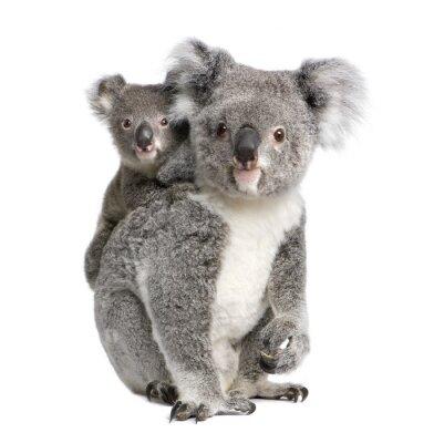 Bild Portrait of Koala bears,  in front of white background