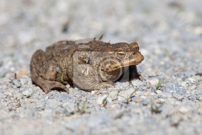 Porträt einer Kröte im Frühjahr