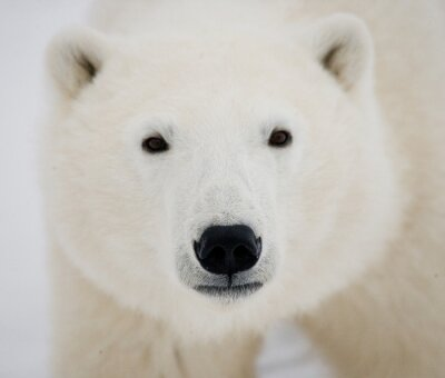 Bild Porträt eines Eisbären. Nahansicht. Kanada. Eine ausgezeichnete Illustration.