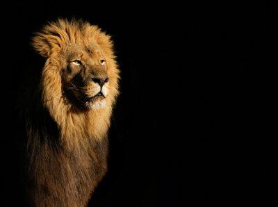 Bild Porträt eines großen männlichen afrikanischen Löwen (Panthera leo) vor einem schwarzen Hintergrund, Südafrika.