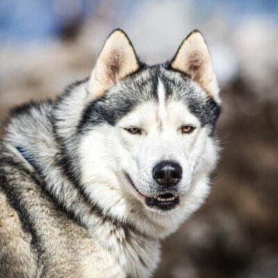 Bild Porträt eines Schlittenhundes, Husky-Hund