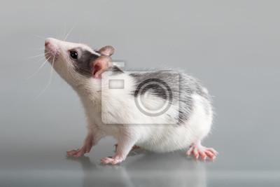 Bild Portrat Von Baby Ratte Grossansicht