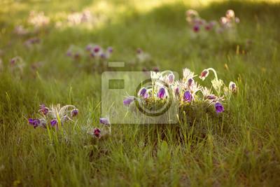 Purpurrote pelzige Blume in den Strahlen der untergehenden Sonne