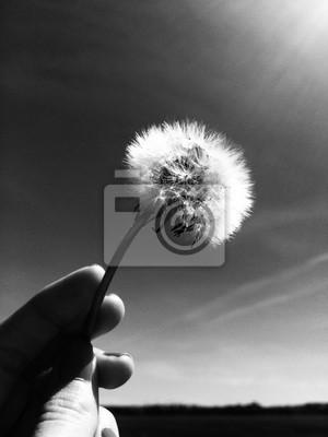 Bild: Pusteblume schwarz weiß