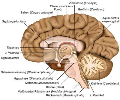 Großzügig Anatomie Des Gehirns Leicht Gemacht Bilder - Anatomie Von ...
