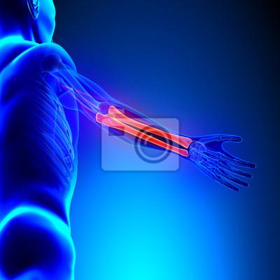 Radius ulna knochen anatomie mit kreislauf-system leinwandbilder ...