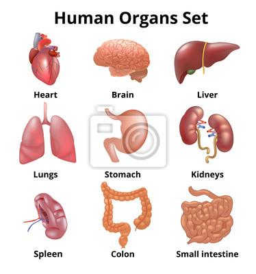 Realistische menschliche organe setzen anatomie leinwandbilder ...