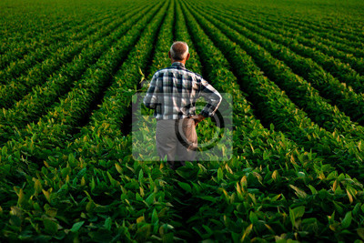 Bild Rear view of senior farmer standing in soybean field examining crop at sunset.