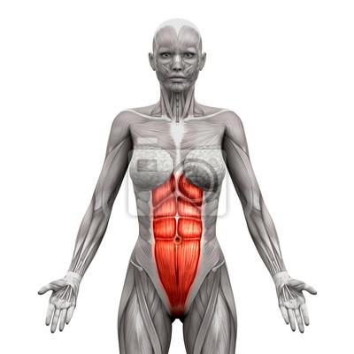 Rectus abdominis - bauchmuskeln - anatomie muskeln isoliert ...