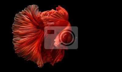 Bild red  color of Siamese fighting fish betta Thailand fish movement