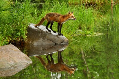 Bild Red Fox and water reflection surrounded by green.