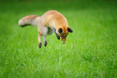 Bild Red fox auf jagd, wenn mousing im gras von vorne seitenansicht