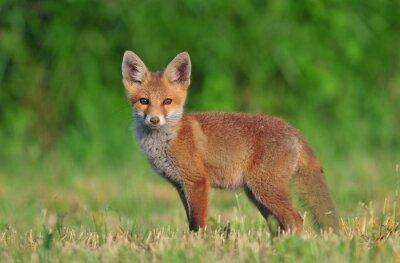 Bild Red Fox Cub