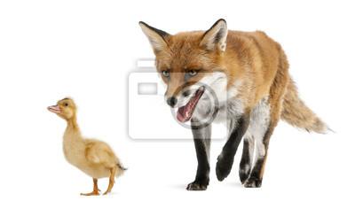 Bild Red Fox, Vulpes vulpes, das Spiel mit einem inländischen Entlein