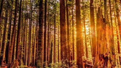 Bild Redwood Sun