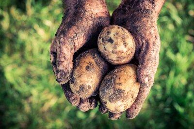 Bild Reife Kartoffeln in den Händen