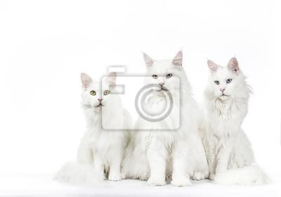 Reihe von drei weißen Maine Coon Katzen sitzen isoliert auf weißem Hintergrund