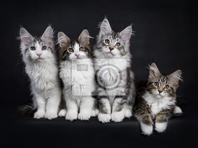 Reihe von vier Maine Coon Kätzchen isoliert auf schwarzem Hintergrund