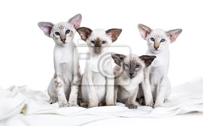 Reihe von vier siamesischen Kätzchen sitzt auf einer weißen Decke isoliert auf weißem Hintergrund