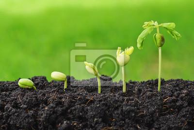 Bild Reihenfolge der Keimung der Samen auf grünem Hintergrund