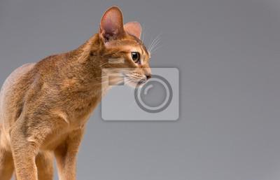 Reinrassige Abessinier junge Katze Porträt