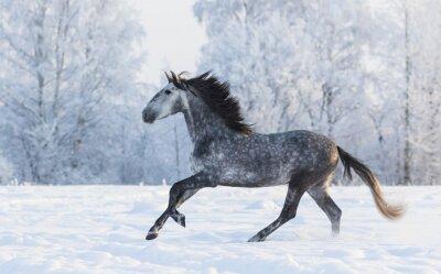 Bild Reinrassiges Pferd galoppiert über eine schneebedeckte Winterwiese