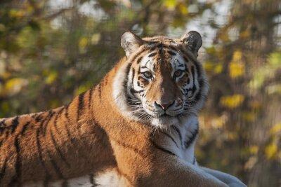 Bild Resting Indian Tiger