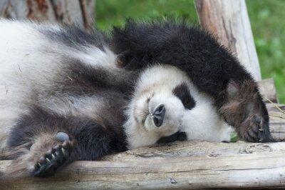 Bild Riesenpandabären Schlaf