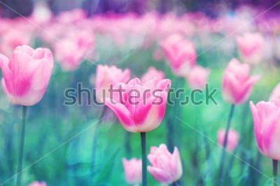 Bild Rosa Blumentulpen beleuchtet durch Sonnenlicht. Weicher selektiver Fokus, Tonen. Heller bunter Fotohintergrund