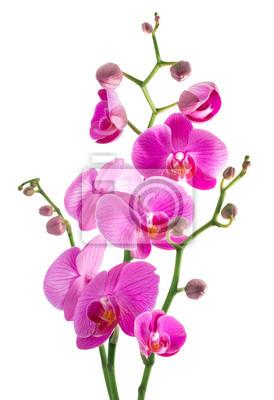rosa Blüten Orchidee auf einem weißen Hintergrund