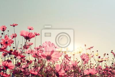 Bild Rosa des Kosmos-Blumenfeldes. Süß und Liebe Konzept - Jahrgang Natur Hintergrund